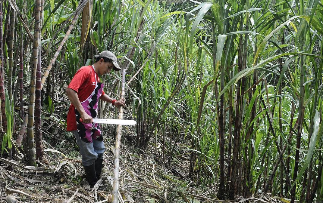 Ganaderos del municipio de Reyes producen caña de azúcar para la empresa de San Buenaventura